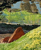 Roter Fels und Klippenkohl auf Helgoland