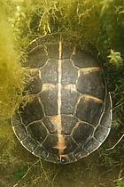 Südliche Zierschildkröte (Vogel Strauß Edition)