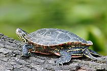 Nördliche Rotbauch-Schmuckschildkröte