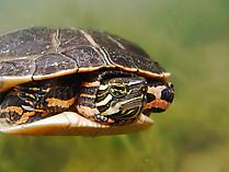 Südliche Zierschildkröte