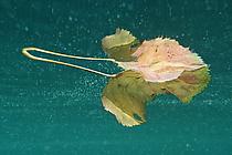 Blattspiegelung mit Schwebeteilchen
