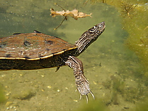 Falsche Landkarten-Höckerschildkröte