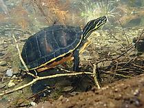Florida-Rotbauch-Schmuckschildkröte