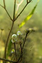 Blase an Gras-Froschlöffel