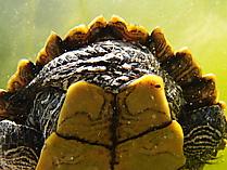 Falsche Landkarten-Höckerschildkröte von hinten/unten